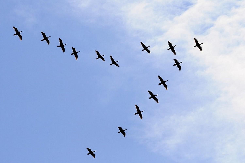 oiseaux_migrateurs